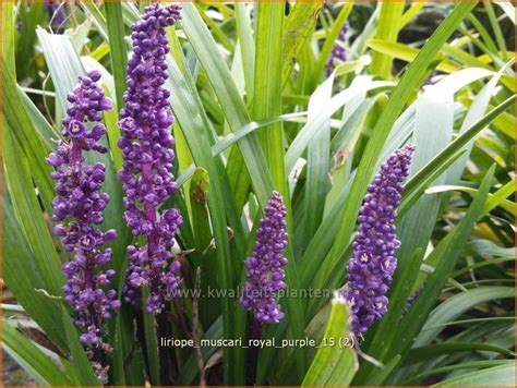 Lilientraube - Liriope muscari 'Royal Purple