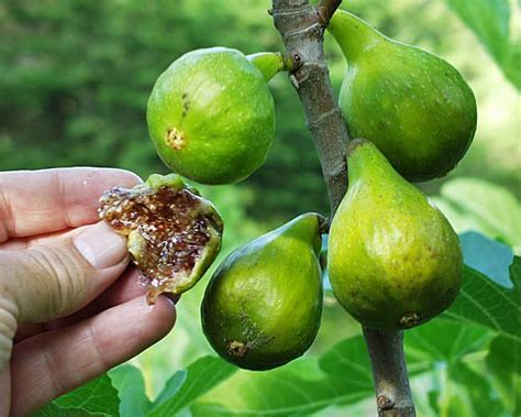 Hot figs to grow in cool places - SFGate