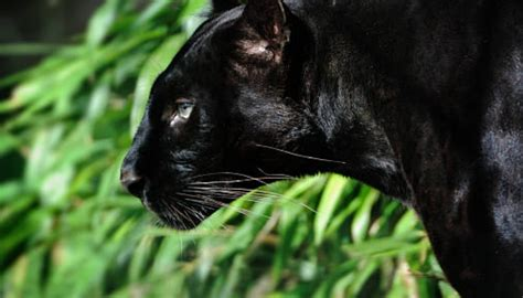 40 Interesting Panthers Facts - Serious Facts