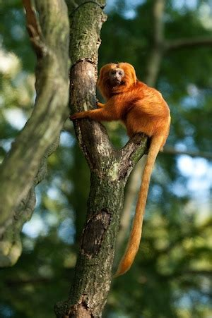 Golden Lion Tamarin Monkey Facts: Lesson for Kids | Study