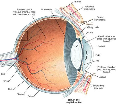 conjunctiva - definition - What is