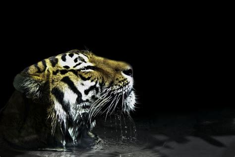 Awesome tiger is awesome | Big cats, Jake sparrow, Feline
