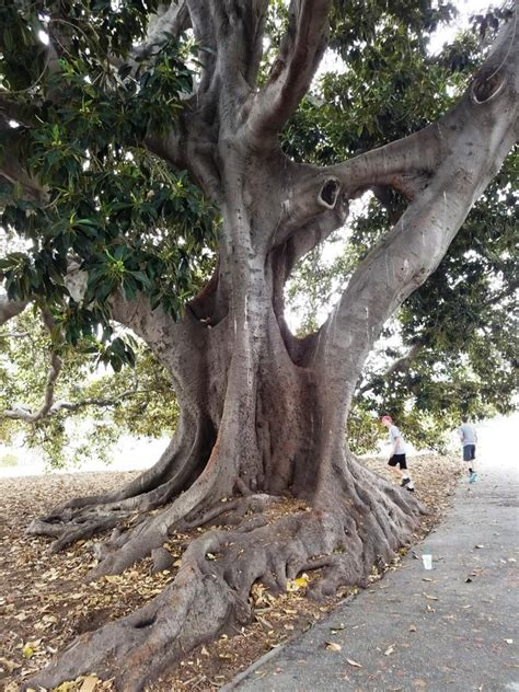 Moreton Bay Fig Tree at Plaza Park in Downtown Ventura