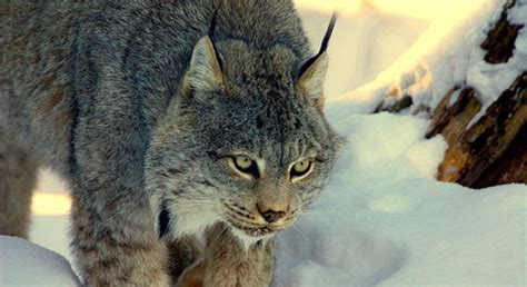 Basic Facts About Canada Lynx   Defenders of Wildlife