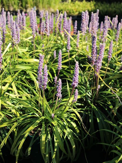 Glöckchentraube 'Moneymaker' - Liriope muscari 'Moneymaker