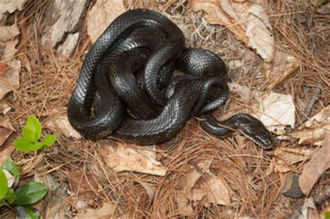 Solid-Colored Snakes | Snakes in Western Massachusetts