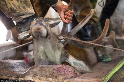 Siberian torture chamber where antlers of Maral stags are