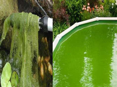 The Pond Outlet Blog » Blog Archive » Getting Rid of Algae