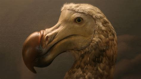 The Dodo Almost Died Off 4,000 Years Ago Because Of Its