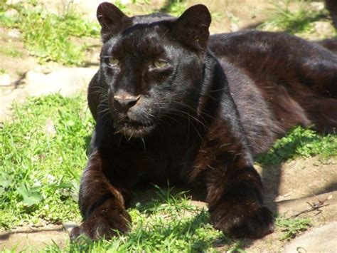 Are There Really Black Panthers? • The National Wildlife